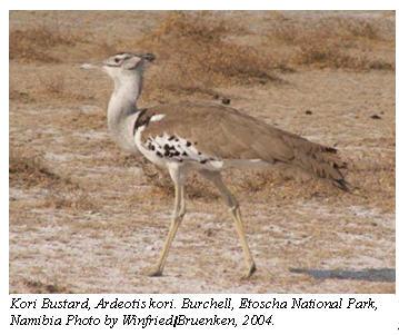 Kori Bustard, Ardeotiskori. Burchell, Etoscha National Park, Namibia Photo by Winfried / Bruenken, 2004