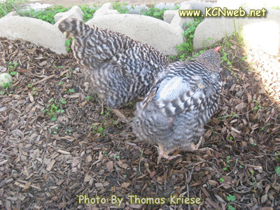 moulting chickens with feathers starting to regrow